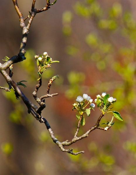 B- Pear Blossom
