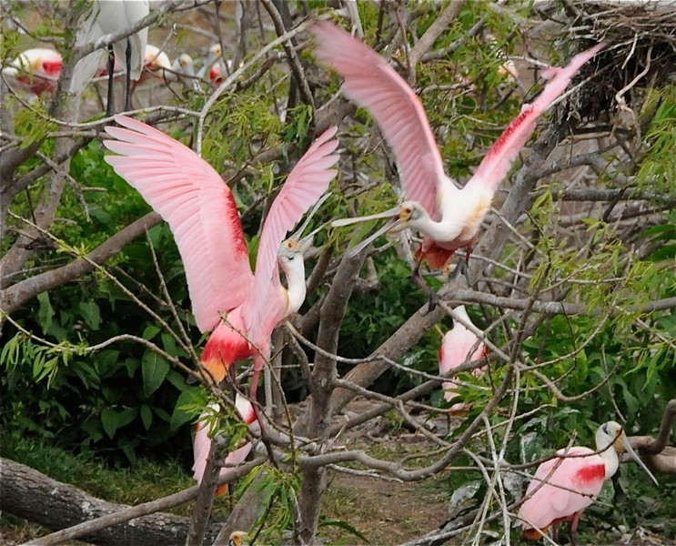 W - Roseate Spoonbills Courting at High Island, TX