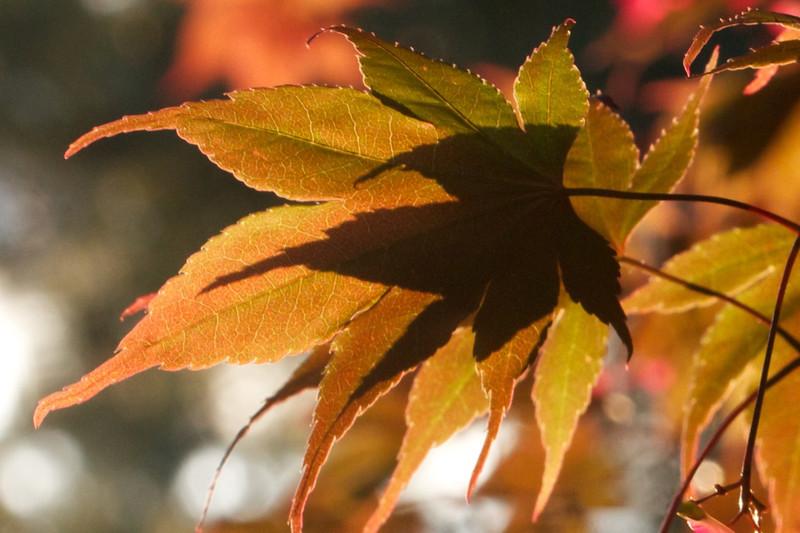 J - Maple Leaves