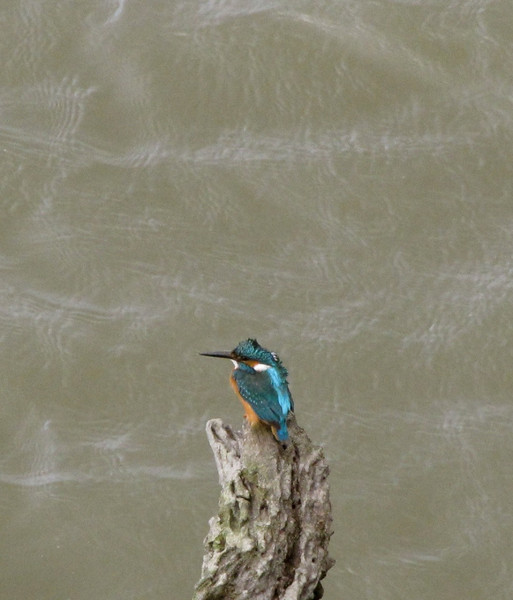 W-Kingfisher in Bhutan with flowing river bokeh
