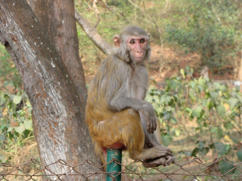 W-Rhesus macaque in IN in casual pose/good eye light