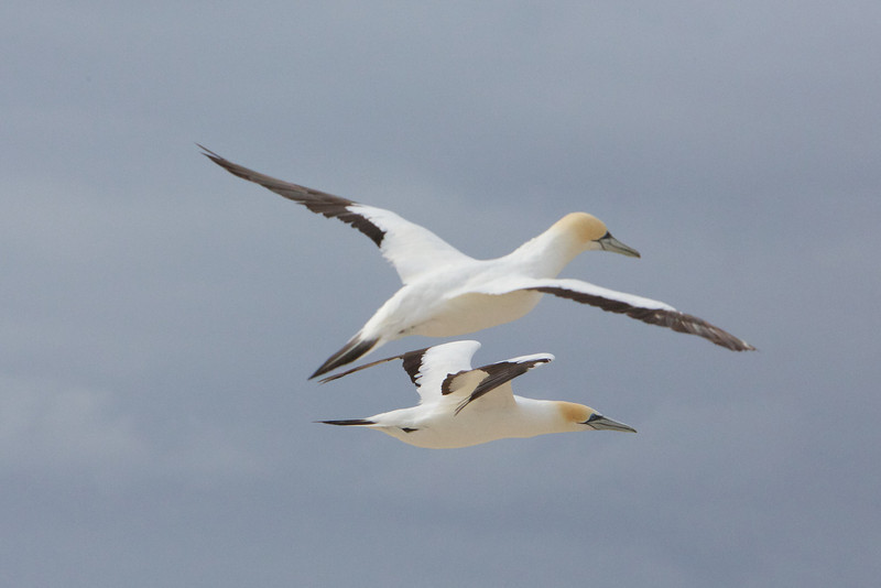 M - Gannets over their colony