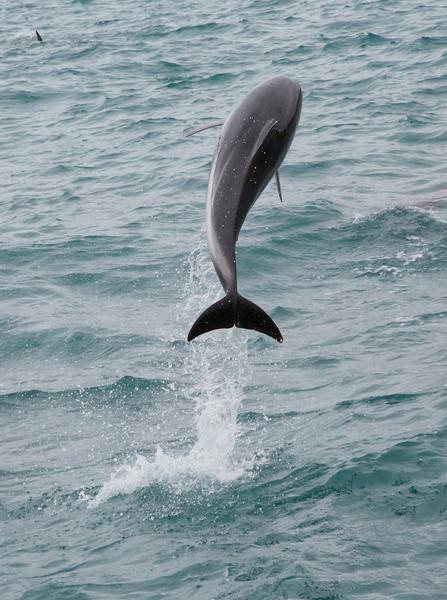 M - Dusky Dolphin--Kaikoura bay
