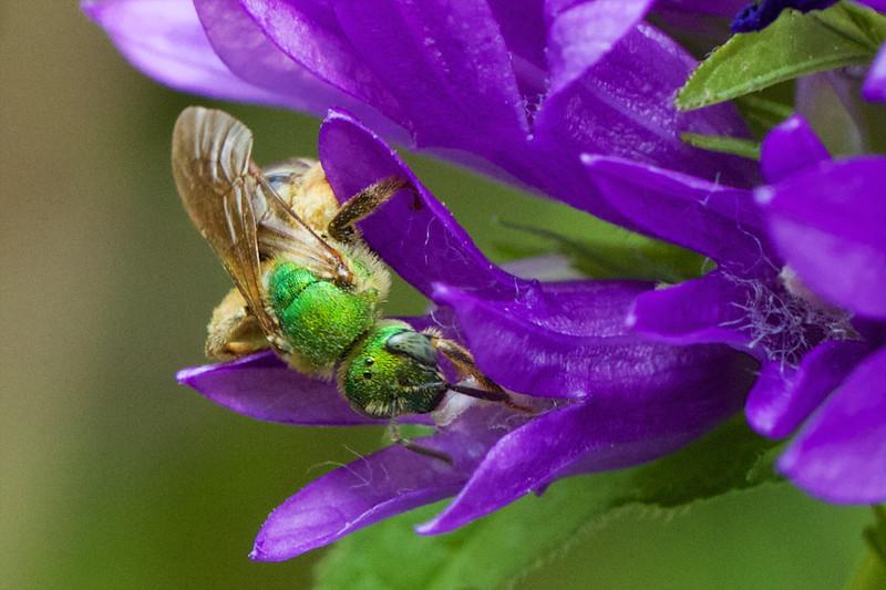 J - Green Sweat Bee (Agapostemon sp)
