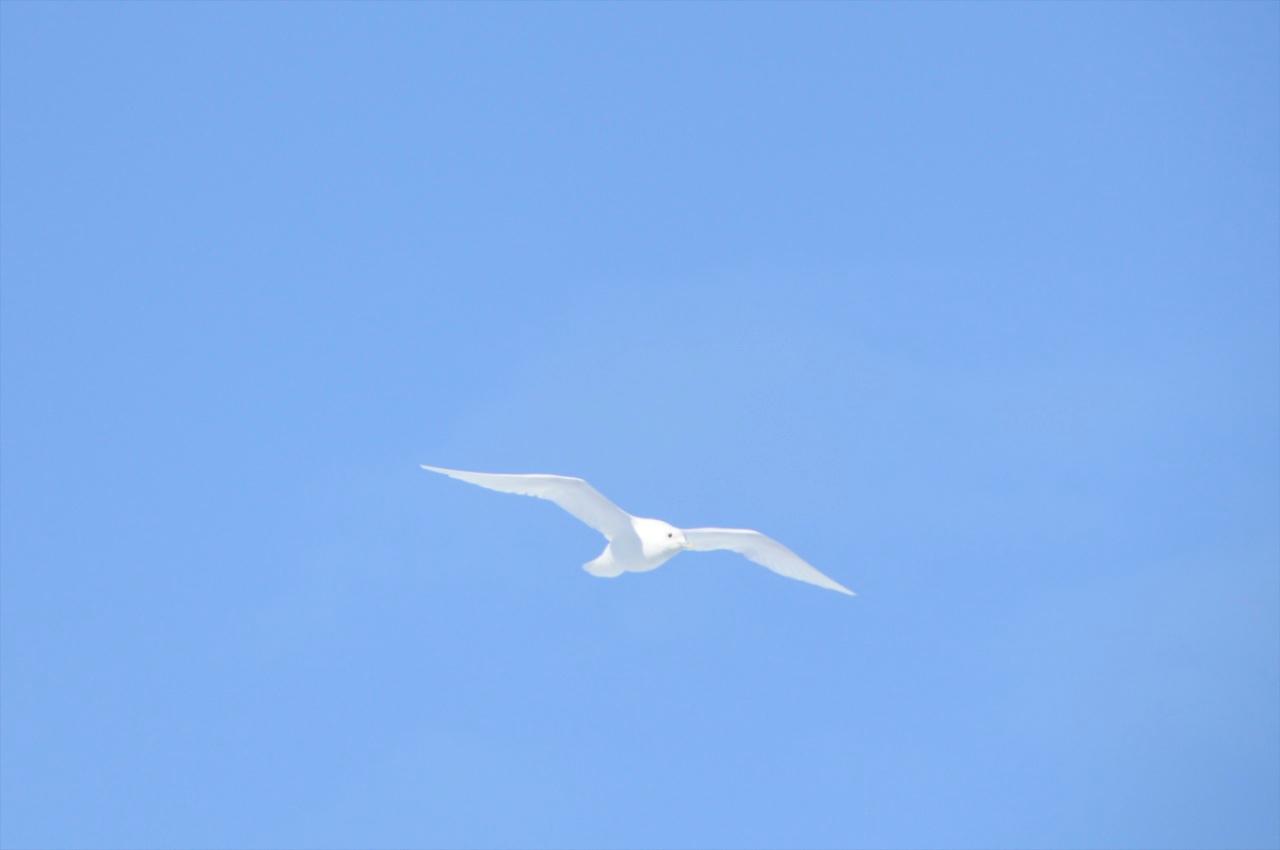 W - Ivory gull