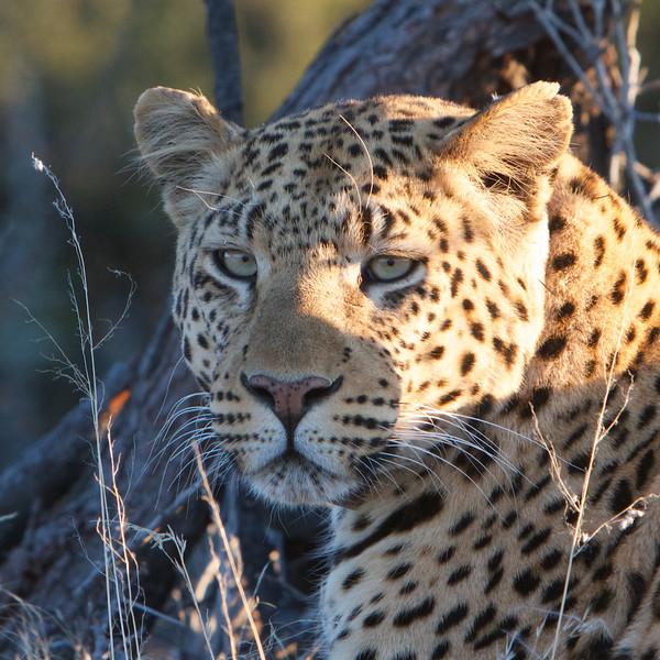 M -  Leopard nearby