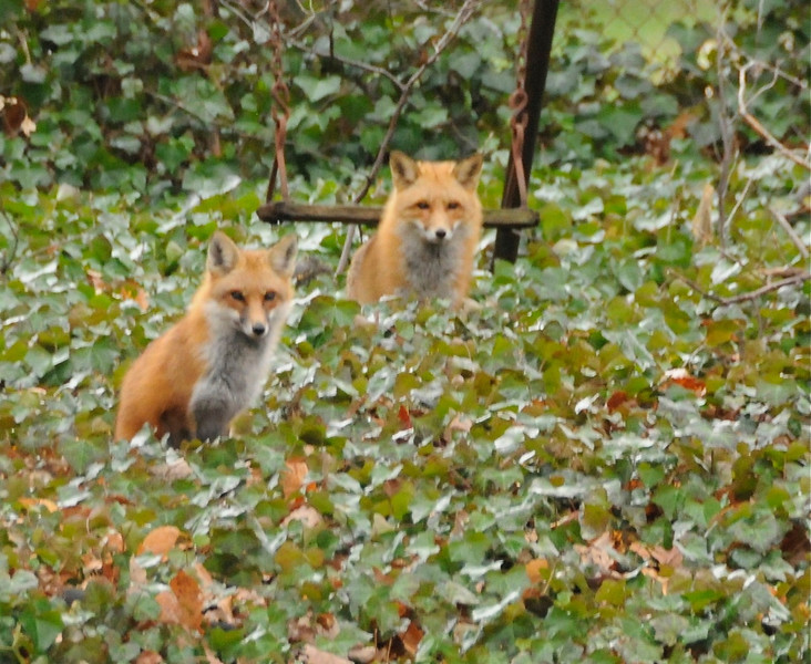 Red foxes in backyard