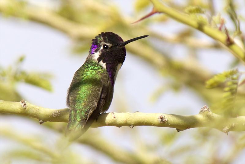 J - Costa's Hummingbird (Anza-Borrego)
