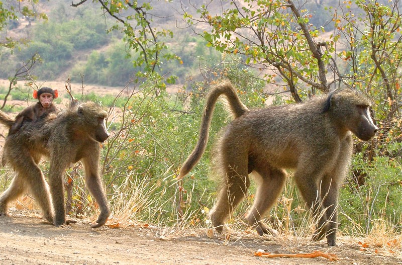 B - Baboon family on the move
