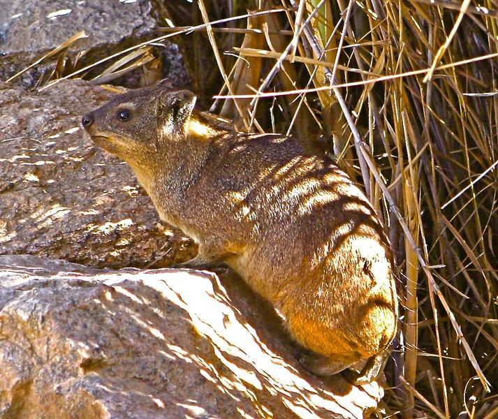 B - Rock hyrax