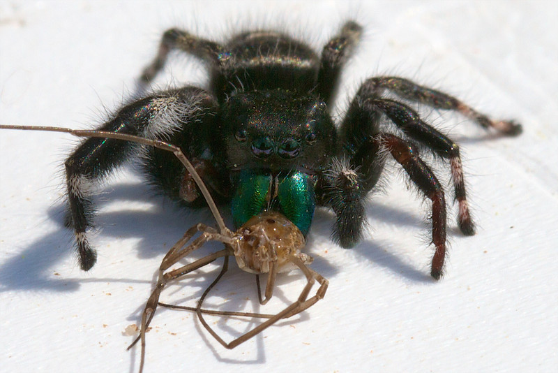 J - Jumping spider with prey