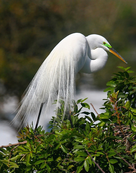 B - Great egret, nesting