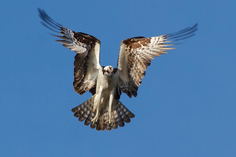 J - Osprey hovering