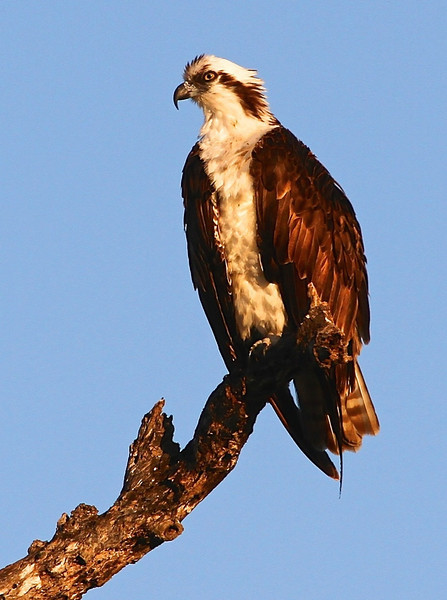 B - Perching Osprey