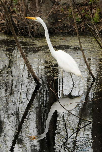 Great egret at Brazos Bend, TX