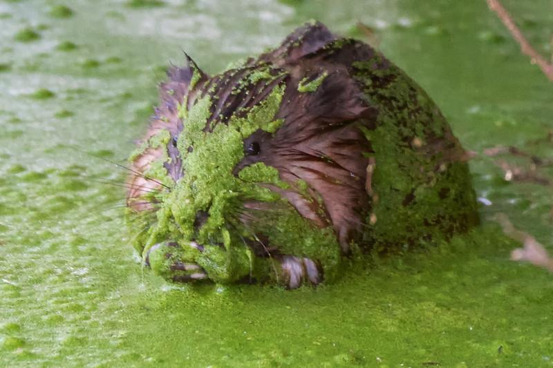 J - Green muskrat