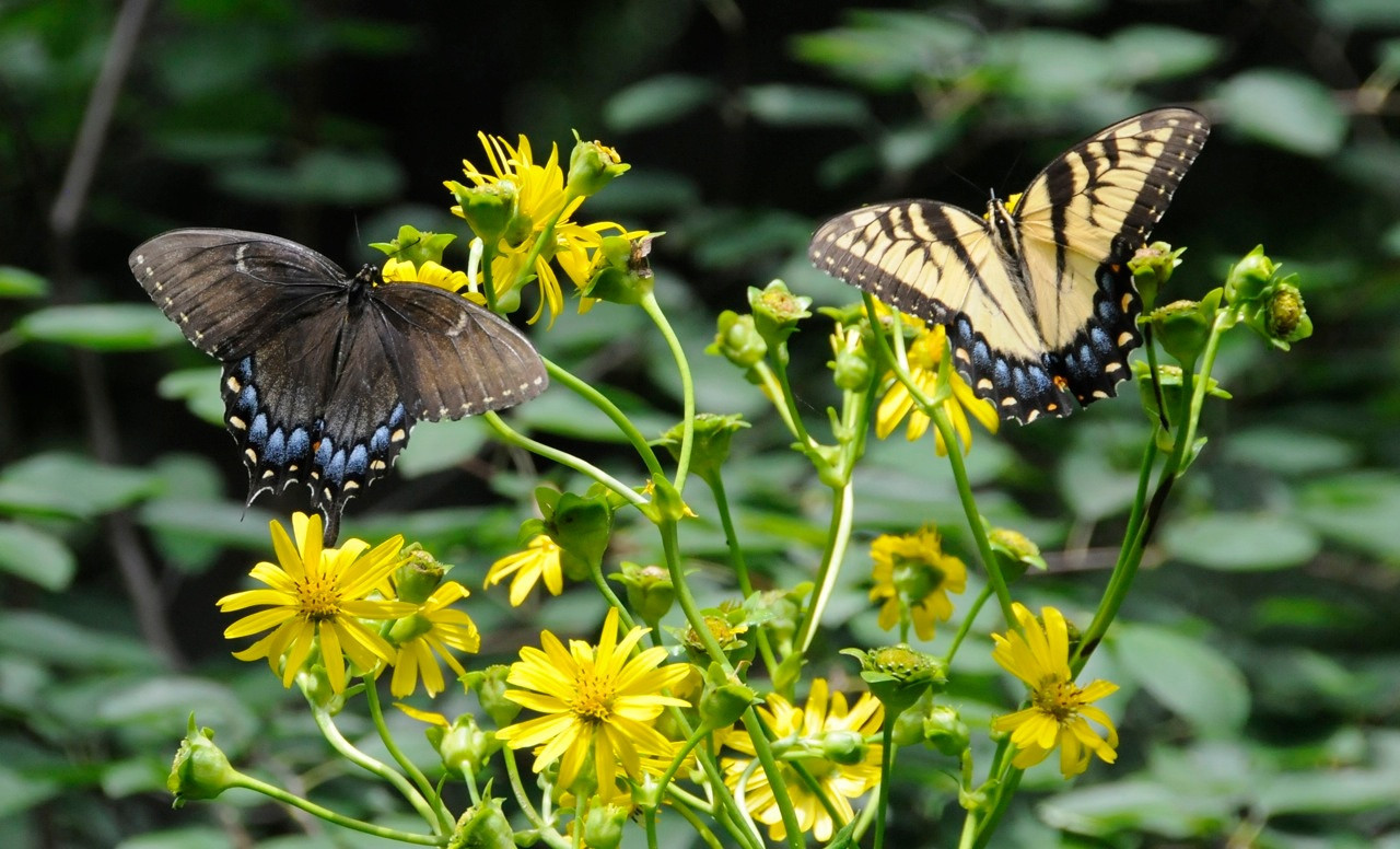 Tiger swallowtails dark & light females