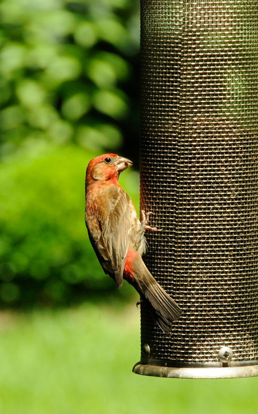 House finch having a snack