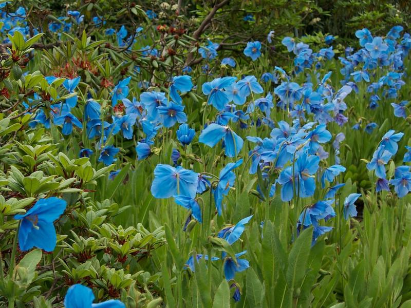 J - Himalayan Blue Poppies