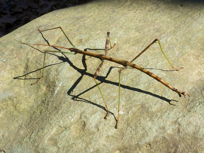 J - Walking Stick