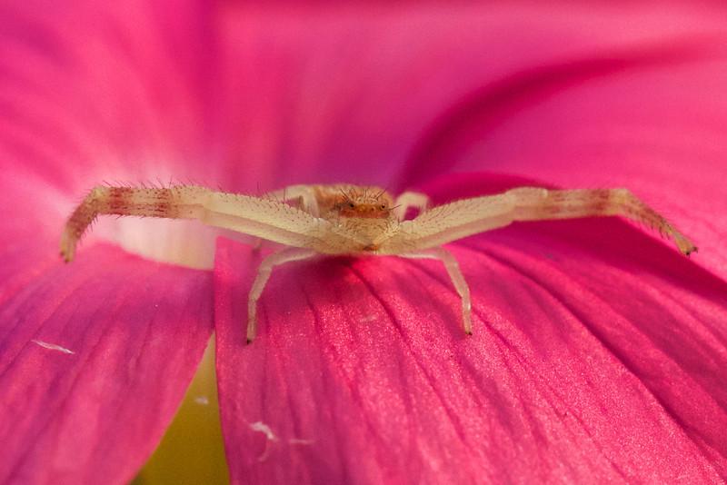 J - Crab Spider