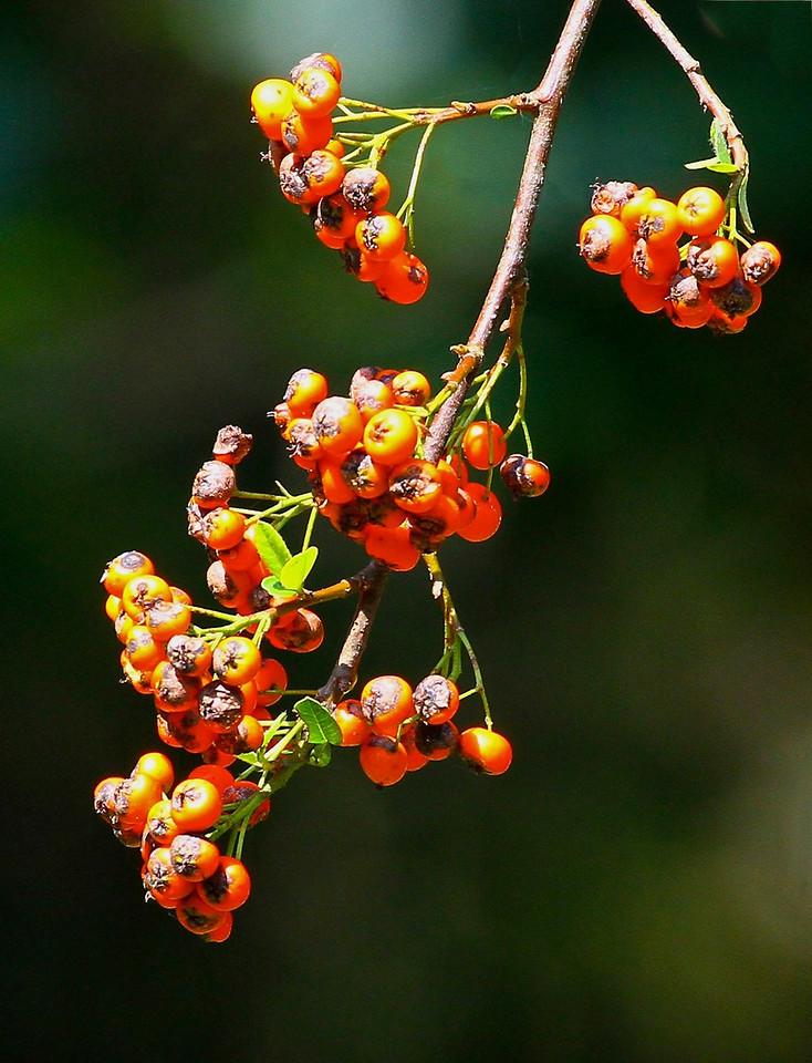 B - Pyracantha berries