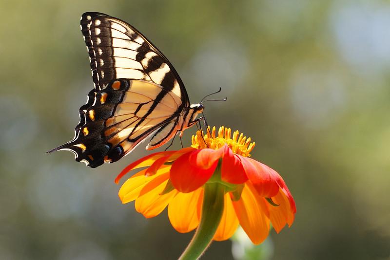 J - Swallowtail on Tithonia