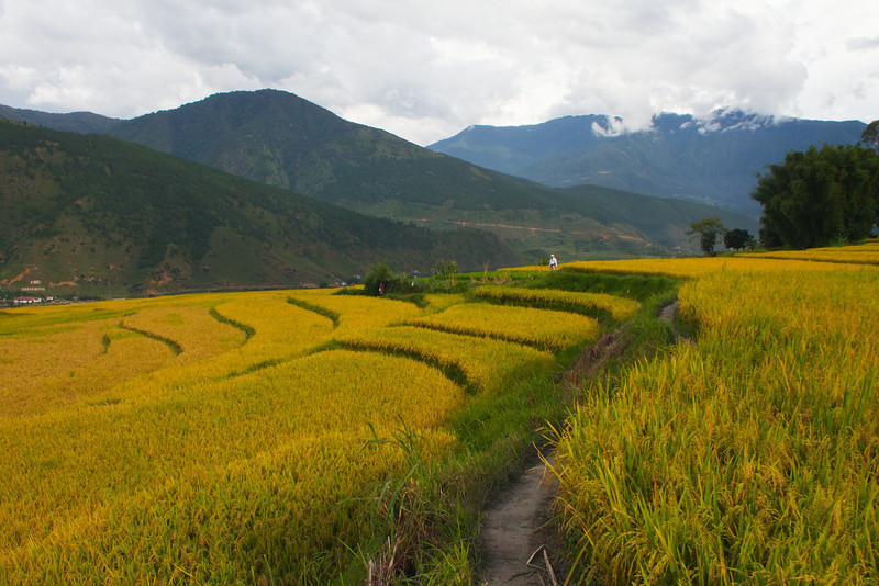 M-Through the Rice Paddies, Bhutan