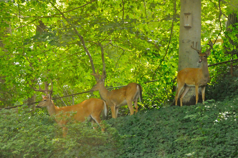 Bucks in Backyard