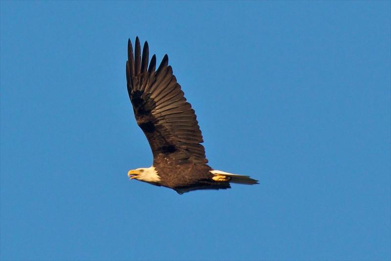 J - Bald Eagle