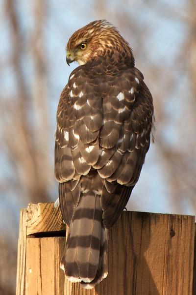 J - Young Cooper's Hawk