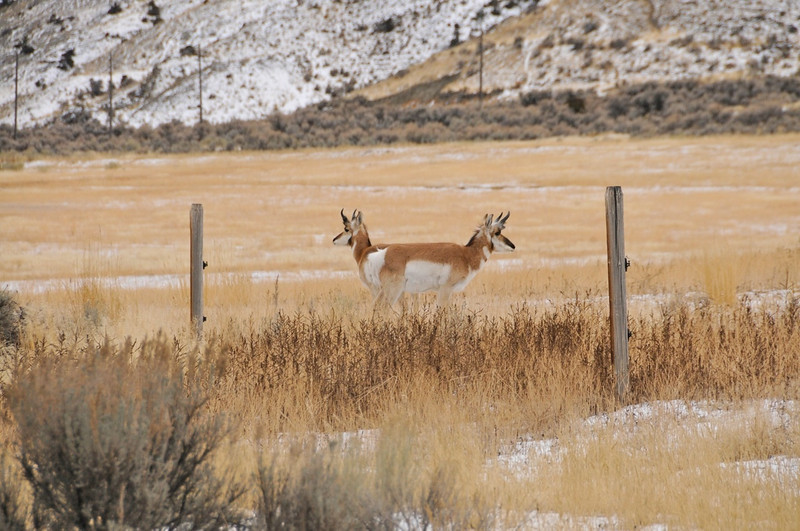 W - Two headed Pronghorn -  Paradise Valley