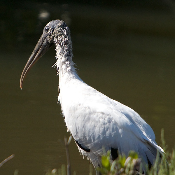 M - DingDarlingStork