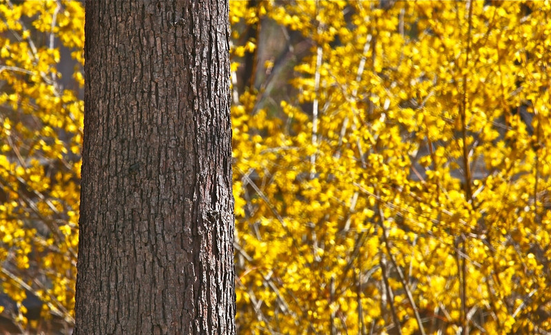 B - Tree with forsythia