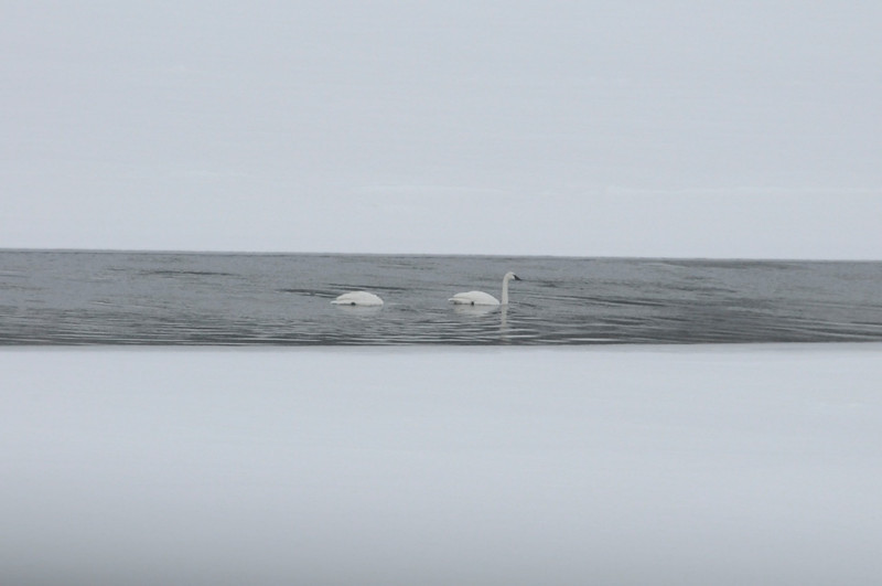 W - Sky, Swans, Snow at Yellowstone NP