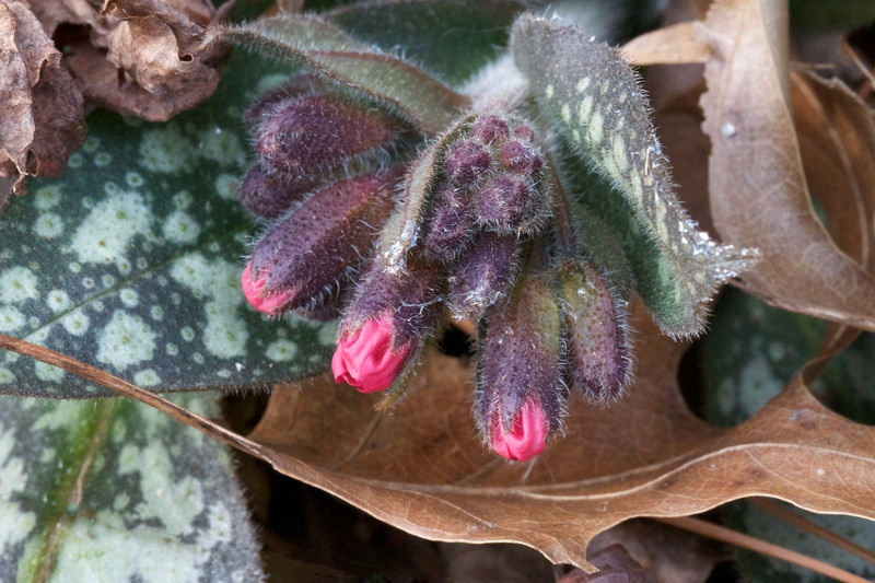 J - Lungwort (Pulmonaria officinalis) in bud (2)