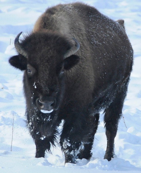 W - American bison at Yellowstone NP