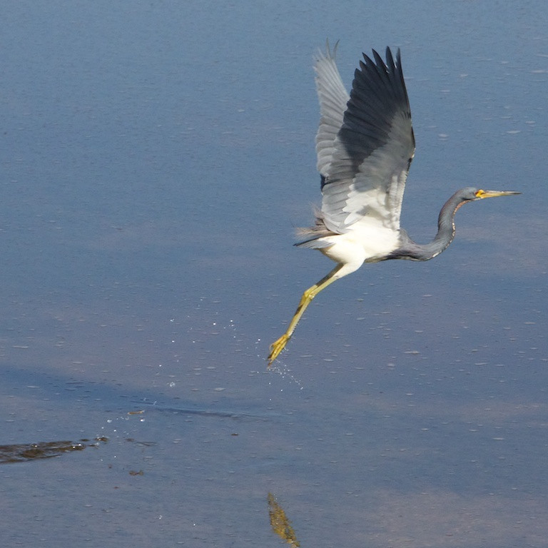 M - Tricolored Heron taking off