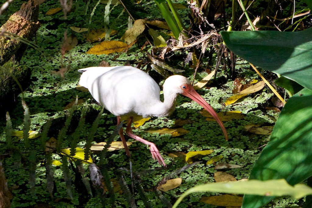 M - Lone ibis in Corkscrew Swamp Sanctuary