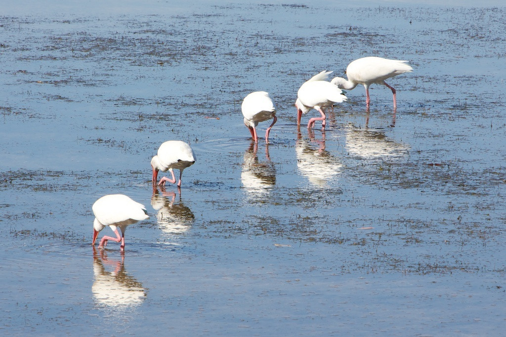 M - Ibises all in a row