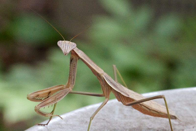 J - Praying Mantis
