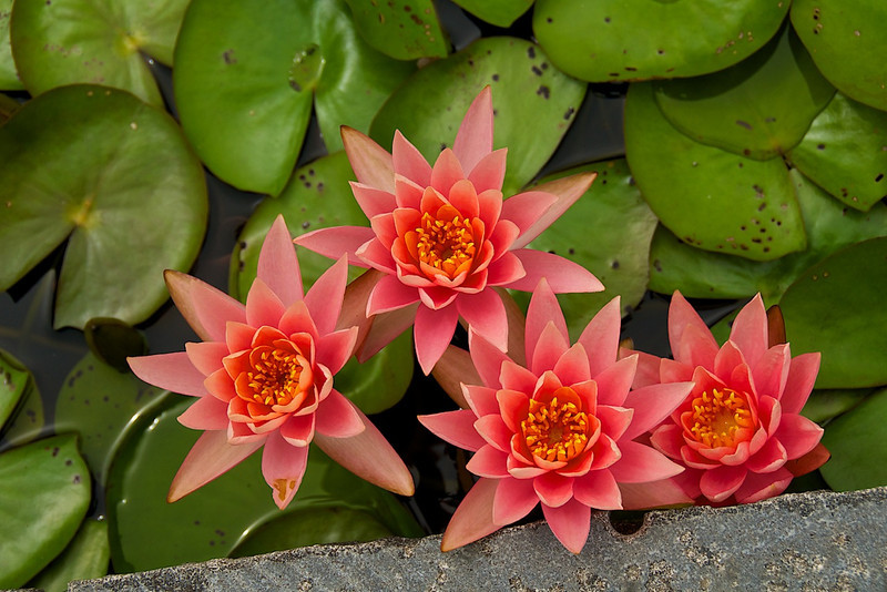 I - Water lillies at Garden for Sculpture