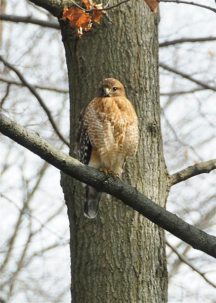 W - Red-Shouldered Hawk - Version 2
