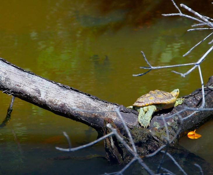 B - Turtle sunbathing