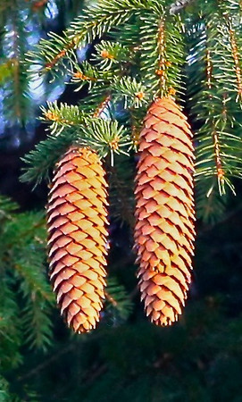 B - Pine cones