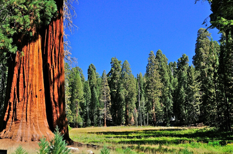 W - Sequoia Grove