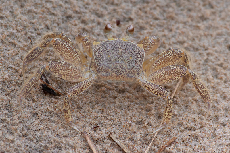 J - Baby Ghost Crab