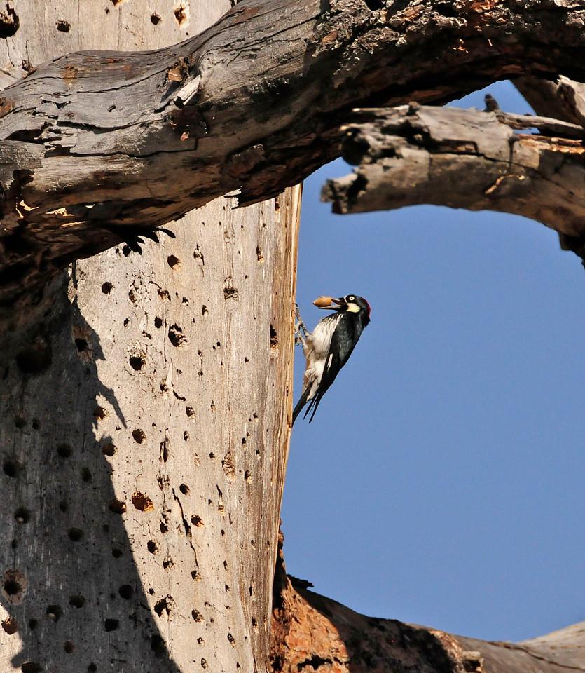 W - Acorn Woodpecker & storage tree