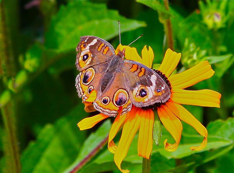 B - Buckeye Butterfly-Alexandria
