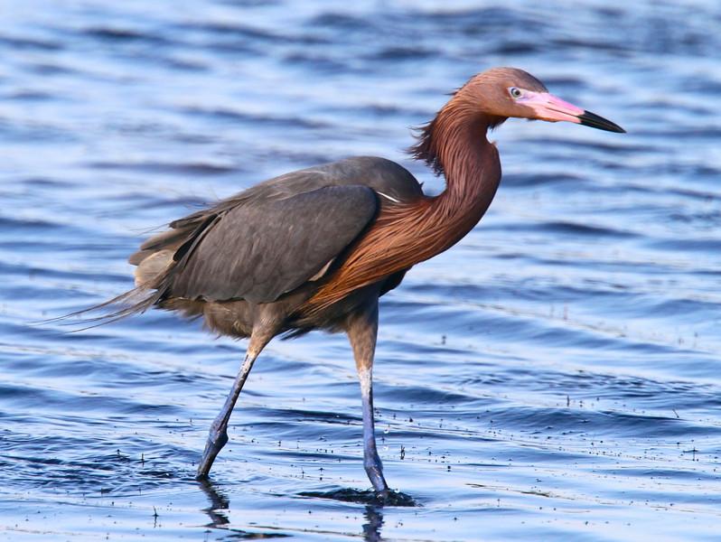 B -  Windblown reddish egret
